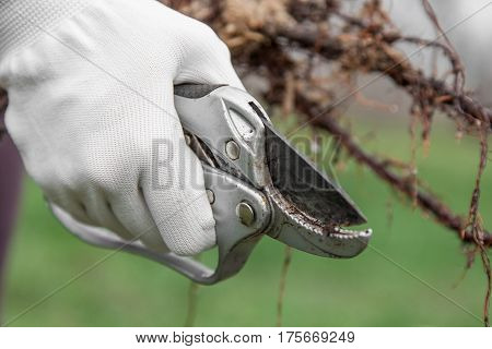 Pruning of root fruit trees before planting into soil gardener's hand in glove cuts the roots of seedlings pruning shears