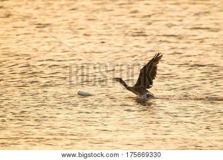 Cormorant Black cormorant with a fish