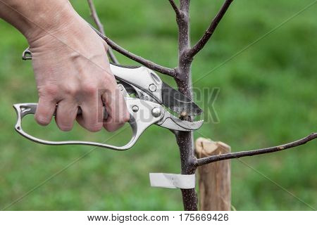 Pruning of tree seedlings after planting gardener cuts knot on saplings of fruit trees