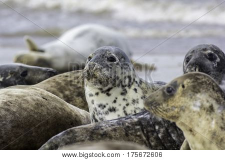 This spotty grey seal (Halichoerus grypus) stands out amongst the Horsey colony of wild seals on the English coast.