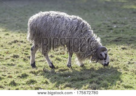Profile of Mongolian sheep (Ovis aries) grazing. Side view showing its carpet-wool coat.
