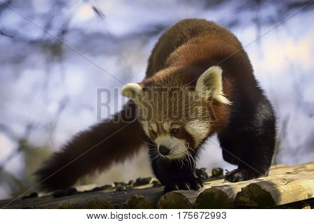 Red panda on a roof top. Image has a slight soft focus effect creating a dreamy image of this shy and magical animal
