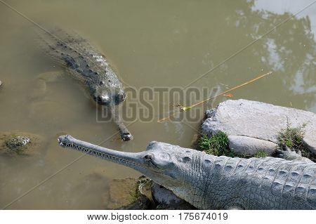 Two crocodiles gavial on the farm Hamat Gader (Lat. Gavialis gangeticus)
