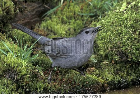 A Gray Catbird, Dumetella carolinensis drinking at the edge of a small pond
