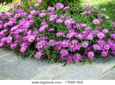 beautiful delosperma flowers