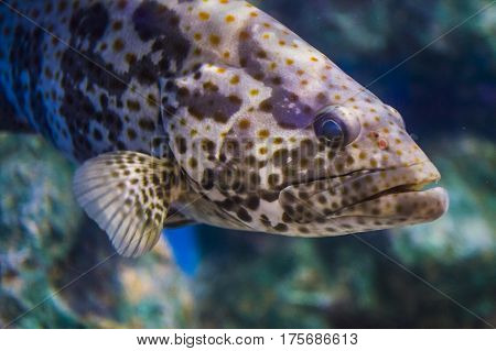 Ugly grouper fish in a tank with coral