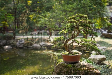 Bonsai on a rock by a pond surrounded by trees Chengdu China