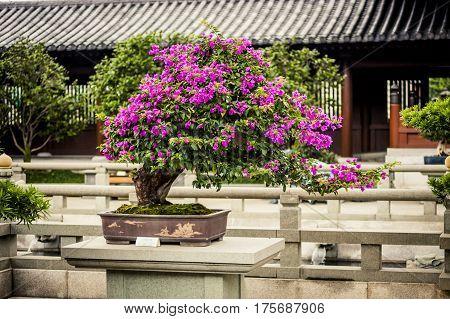Bonsai Tree At A Temple In Hong Kong