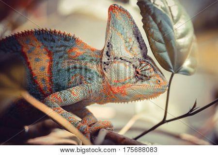 Yemen chameleon sits on the branch of tree