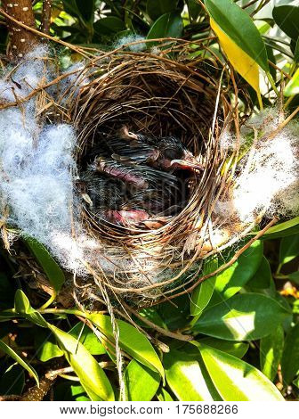 nest bird with newly hatched baby wrens waiting for their mother to return and feed