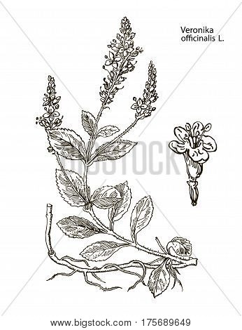 Veronika officinalis. Hand drawn vector botanical illustration of valerian on white background. Wild grasses and flowers. Vintage botanical illustration
