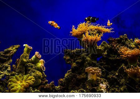 Clownfish with coral in a large tank