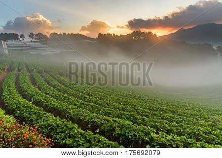 Strawberry farm at Doi Angkhang Chiangmai Thailand