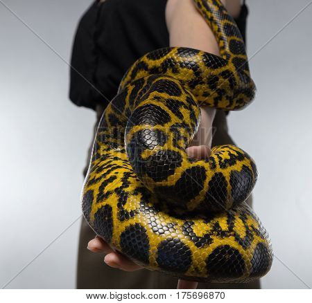 Snake on woman's hand on gray background