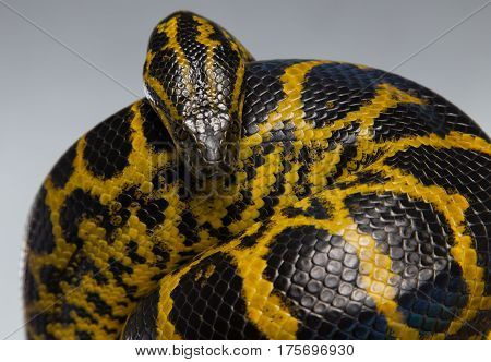 Crawling yellow anaconda in knot on gray background