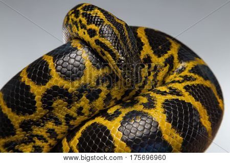 Crawling yellow black anaconda on gray background
