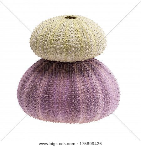 Sea shells of violet and green sea urchin isolated on white background.