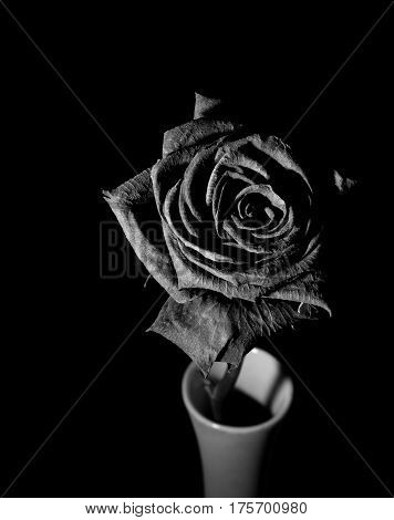 Harlequin rose with dew on the black background.