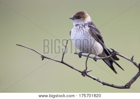 Juvenile Greater Striped Swallow sit on a perch and wait