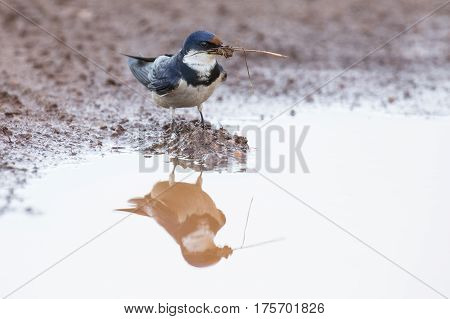 White-throated swallow sit at muddy water pool to get mud for its nest