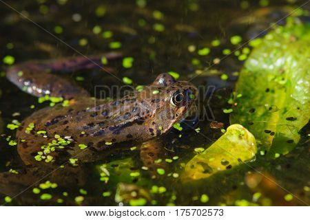 Wild common Frog (Rana temporaria) hiding among lilies surrounded by frog spawn in a pond