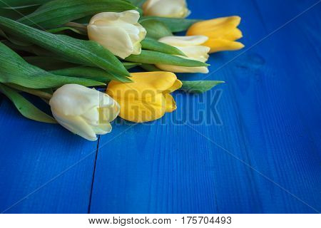 Yellow and white beautifu tulips on blue wooden background with space for message. Women's or Mother's Day background