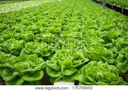 Fresh Butter head vegetable in hydroponic farm