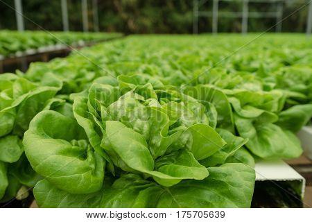 Fresh Butter head vegetable in hydroponic farm