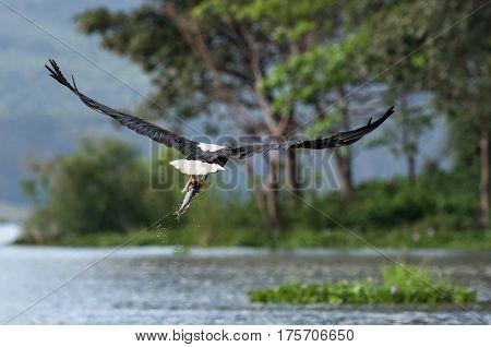 Naivasha Fish Eagle Flying With Fish In Talons