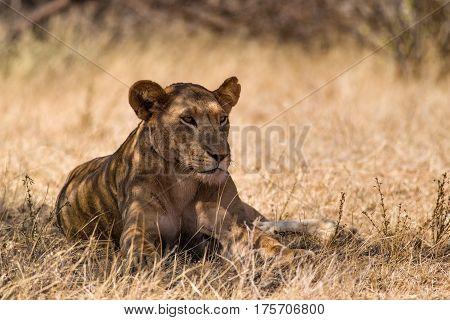 Resting Lioness Sitting In Shade Of Tree, Samburu
