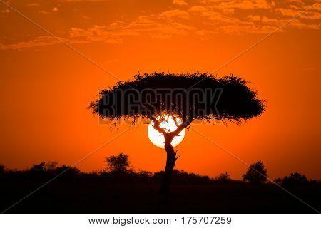 Sun Behind Silhouetted Acacia Tree, Maasai Mara