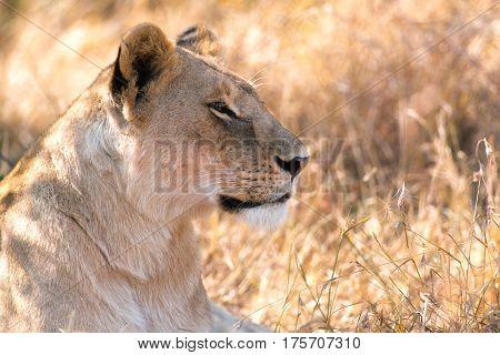 Resting Lioness In Shaded Grass, Maasai Mara