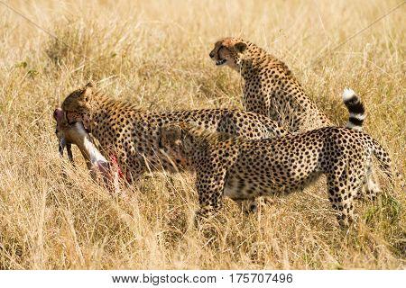Cheetah Family With Gazelle Kill, Maasai Mara