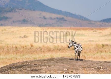 Zebra Standing On Rocky Outcrop, Maasai Mara