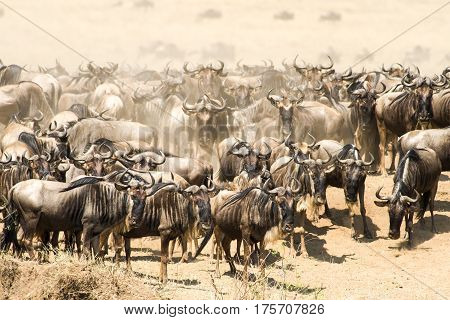 Wildebeest Herd Migration Waiting To Cross River, Maasai Mara