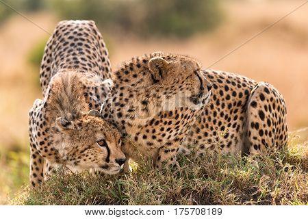 Pair Of Hunting Cheetahs On Mound, Maasai Mara
