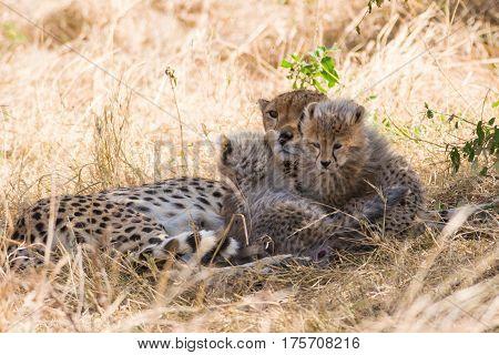 Mother Cheetah And Baby Cubs Resting In Shade, Maasai Mara