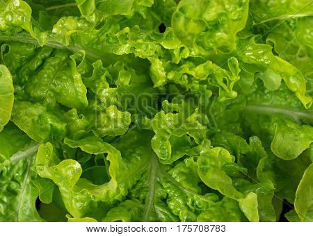 Lush bunch of fresh green lettuce leaves close-up