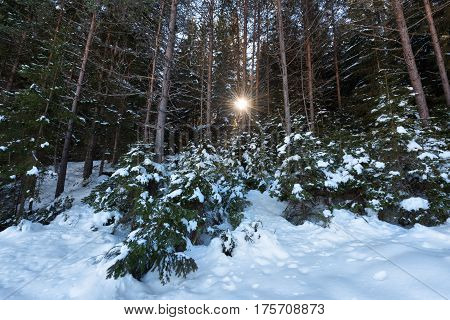 Winter forest scene. Sunrays in the forest in a sunny winter day. Snowy fairytale in Bulgaria.
