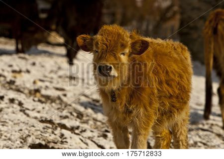 Baby animals. Mountainous calf on the snow.