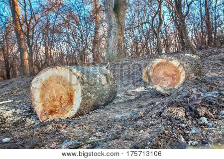 deforestation scene with cut big log and in the woodland