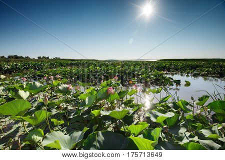 Beautiful landscape of blossoming lotuses in the afternoon