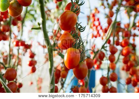 Tomatoes in the garden,Vegetable garden with plants of red tomatoes. Ripe tomatoes on a vine, growing on a garden. Red tomatoes growing on a branch.