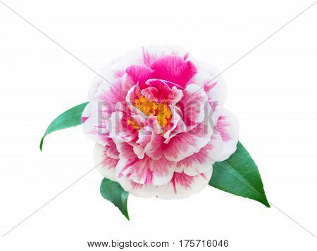 White and pink bicolor camellia peony form flower with leaves isolated on white