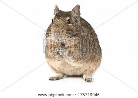 Small degu sitting on hind legs isolated on a white background