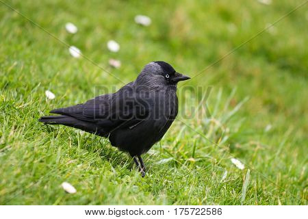 A Jackdaw on a grassy slope, it's feathers fluffed up against the cold