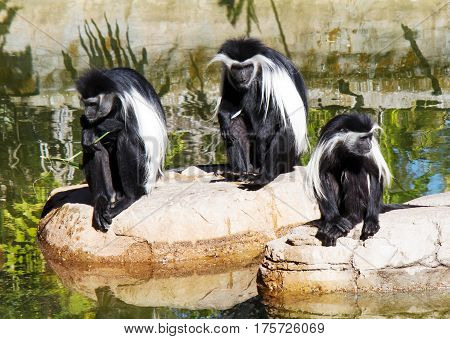 A family of Angolan Colobos monkeys photographed at the Lowry Park Zoo in Tampa, FL