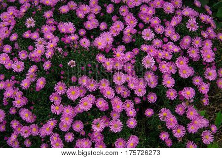 Autumn perennial aster purple on a green background.