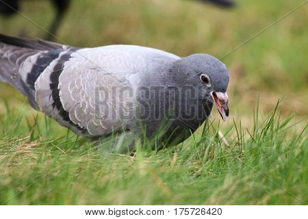A young feral pigeon looking for food among grass