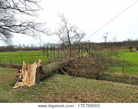 Damaged Broken Tree By Hurricane Wind After Storm In Meadow